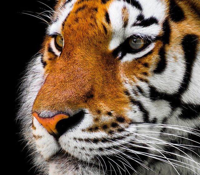 India, il ritorno della tigre