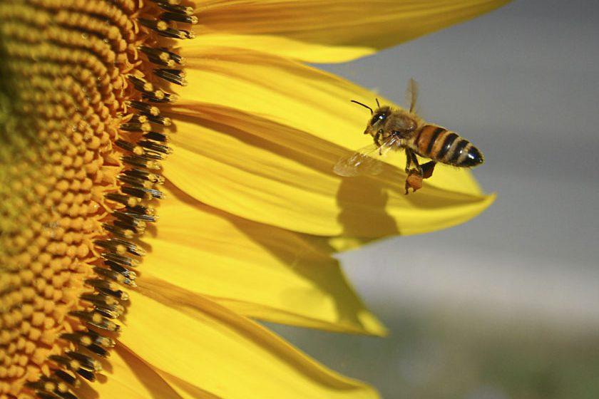 """Moria di api sui girasoli """"OGM"""" in fiore"""