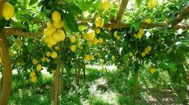 Un frutto antico dai molteplici benefici: il bergamotto