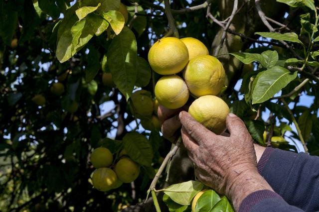 """Le magnifiche proprietà del bergamotto – previene il """"fegato grasso"""""""