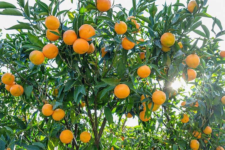 Le clementine genuine ed etiche della Piana di Sibari